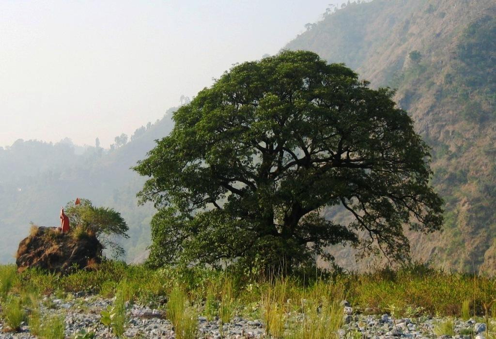 q-shiva-tree-0135