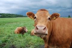 kravi$.jpg